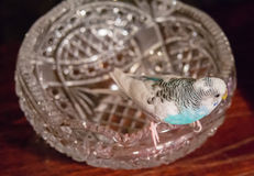 Голубое badgie сидит на кристаллической вазе Стоковые Изображения RF