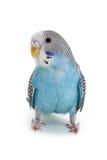 Голубое budgie Стоковые Изображения