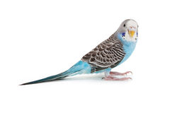 Голубое budgie Стоковое Фото