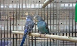 Голубое Budgies Стоковая Фотография RF