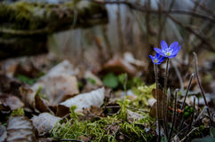 Голубое hepatica общего цветка Стоковые Изображения