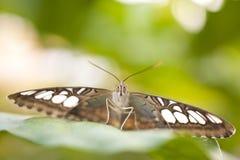 Голубое lilacinus Parthenos sylvia клипера Стоковые Изображения