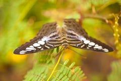 Голубое lilacinus Parthenos sylvia клипера Стоковое фото RF