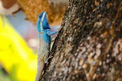 Голубое lizar, красота красочная Стоковая Фотография RF