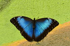 голубое morpho бабочки Стоковое Изображение