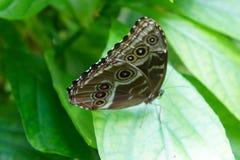 голубое morpho бабочки Стоковое Фото