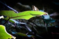 голубое morpho бабочки Стоковое фото RF