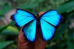 голубое morpho крупного плана бабочки Стоковые Фотографии RF