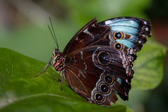 голубое morpho Стоковые Изображения RF
