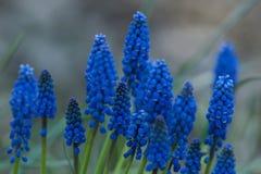 голубое muskari Стоковое фото RF
