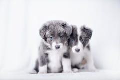 Голубое puppie Коллиы границы Merle Стоковое Изображение RF