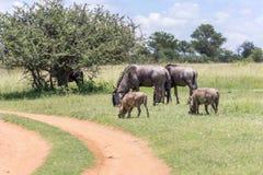 Голубое taurinus Connochaetes антилопы гну Стоковые Фотографии RF