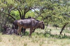 Голубое taurinus Connochaetes антилопы гну Стоковая Фотография RF