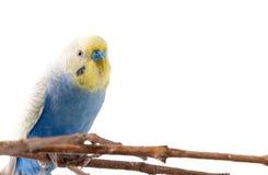 Голубое undulatus Melopsittacus птицы волнистого попугайчика Стоковое фото RF