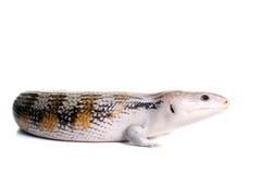 голубой латинский названный язык tiligua skink scincoides Стоковое Изображение