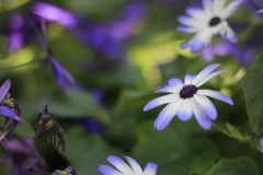 Голубой белый цветок Стоковые Изображения