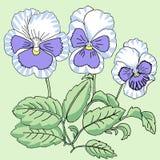 Голубой белый Pansy Стоковые Изображения RF