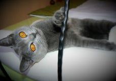 голубой великобританский кот Стоковые Фото