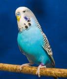 Голубой волнистый попугай Стоковая Фотография