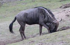 Голубой выкапывать антилопы гну Стоковое Фото