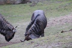 Голубой выкапывать антилопы гну Стоковые Изображения RF