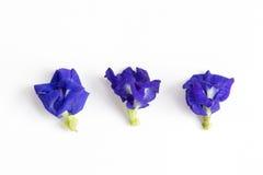 Голубой горох бабочки на белых предпосылках Стоковое фото RF