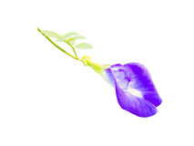 голубой горох Стоковые Изображения