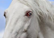 Голубой глаз белой лошади Стоковые Фотографии RF