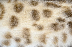 Голубой глаз кота красоты Бенгалии супер Стоковая Фотография