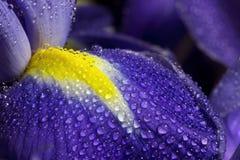 Голубой лепесток радужки с падениями росы Стоковые Фото