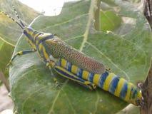 Голубой желтый Хупер Стоковая Фотография