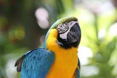 голубой желтый цвет портрета macaw Стоковое Изображение