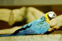 голубой желтый цвет macaw Стоковое фото RF