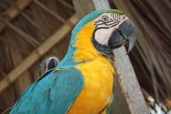 голубой желтый цвет macaw Стоковое Изображение RF