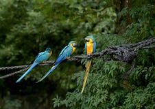 голубой желтый цвет macaws Стоковое фото RF