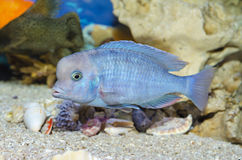 Голубой заплыв рыб в аквариуме Стоковые Фотографии RF