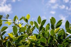 голубой зеленый цвет выходит небо Стоковые Фотографии RF