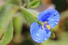 Голубой интерес - одичалая красота, роса сини стоковое фото rf