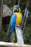 Голубой и желтый попугай ары садить на насест на ветви Стоковые Изображения RF