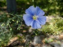Голубой конец-вверх цветка льна Стоковое Изображение RF
