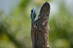 Голубой конец ящерицы вверх Стоковое фото RF