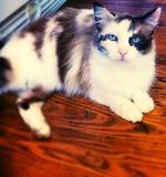 голубой кот eyed Стоковое Изображение