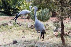 Голубой кран & x28; Paradiseus& x29 Anthropoides; Стоковые Фотографии RF