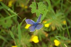 Голубой крыло поврежденное бабочкой стоковое фото