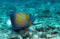 Голубой окружённый angelfish Стоковые Изображения