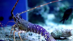 голубой омар сток-видео