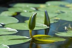 Голубой лотос Египта, Nymphaea Caerulea Waterlilies Стоковые Фото