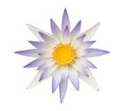 Голубой лотос или изолированная лилия открытого моря Стоковые Фотографии RF
