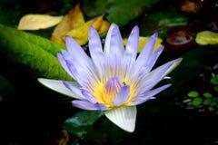 Голубой лотос, конец лилии воды вверх Стоковое Изображение