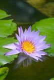 Голубой лотос на пруде Стоковые Изображения